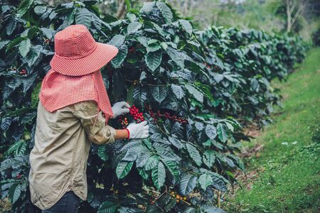 agriculture, coffee garden coffee tree with coffee beans, female workers are harvesting ripe red coffee beans. 免版税图像