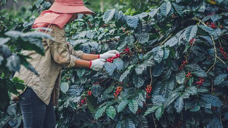 agriculture, coffee garden coffee tree with coffee beans, female workers are harvesting ripe red coffee beans. Stock Photo