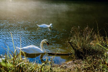 Swan couple swimming with mist in the morning sunrise at Pang-ung, Pine forest in Mae Hong Son, Thailand