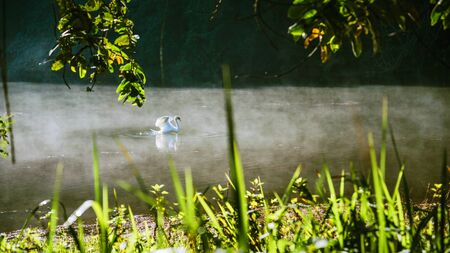 swan swimming with mist in the morning sunrise at Pang-ung, Pine forest in Mae Hong Son, Thailand 版權商用圖片 - 127645269