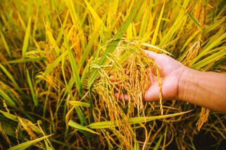 close up of yellow green rice field. hand tenderly touching a rice in the paddy field. Ear of rice, Agriculture 写真素材