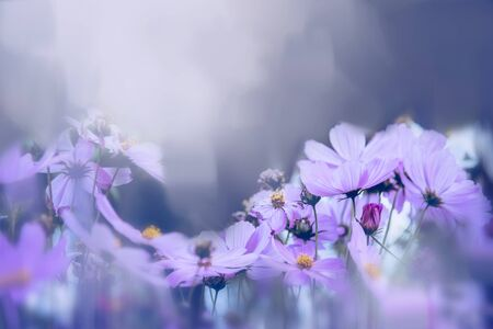 background nature Flower mexican aster. purple flowers. background blur. wallpaper Flower, Space for text. Stok Fotoğraf