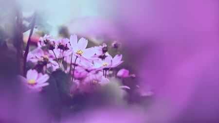 background nature Flower mexican aster pink. background flower blur. wallpaper Flower, Space for text. Sulfur Cosmos. pink Cosmos. Stok Fotoğraf