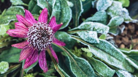 background Flower Osteospermum. purple flowers. Frost is on the leaves and flowers. Banco de Imagens