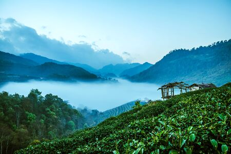 Mountain fog valley during sunrise. Natural summer landscape, Mountain tea plantation
