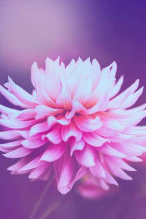 background nature Flower dahlia Orange,pink flowers 免版税图像