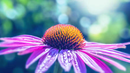 background nature Flower Osteospermum. purple flowers. have dew on pollen. Full frame. Background blur 免版税图像