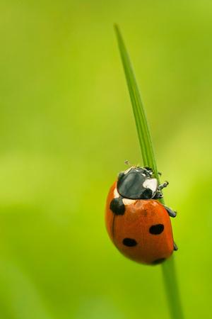 septempunctata: Seven-spot ladybird on grass against blurry background.