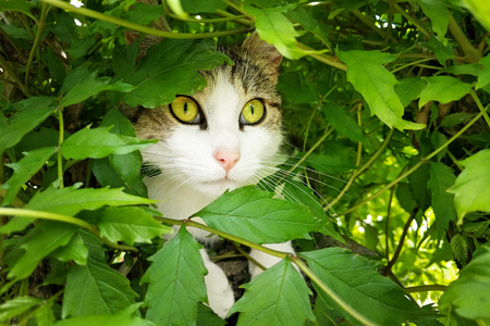 hides: Cat hides in bush under the leaves