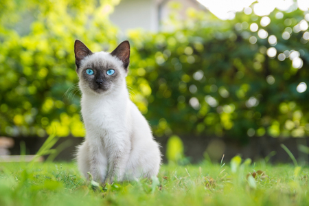 grey eyed: Blue eyed cat sits in grass