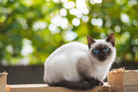 Blue eyed cat sits on wood planks against blurry background