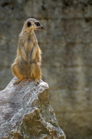 Suricate standing guard on rock