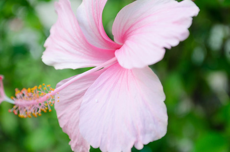 Blooming of pink Hibiscus flower isolated 免版税图像