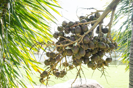 fresh small green fruits  betel palm on the palm tree under natural sunlight and environment 免版税图像