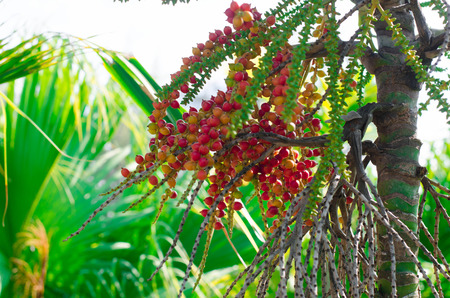 Betel palm tree in the nature photo