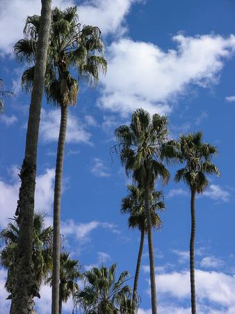 soumis: Palmiers atteignent jusqu'à un ciel bleu nuageux