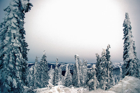 backlite: Snow covered black spruce are backlite by overcast sky at dusk north of Fairbanks Alaska