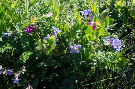 Spring in Alaska brings clusters of Beach Peas and wild Geranium on the shore of Kachemak Bay in Homer Alaska photo