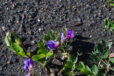 faboideae: Primavera in Alaska porta grappoli di Beach Peas lungo tutto il litorale di Baia Kachemak in Homer Alaska