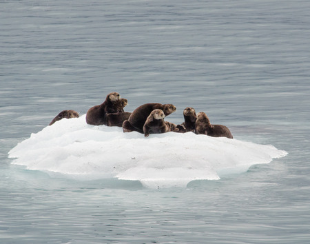 A raft of otters takes advantage of a passing iceberg to relax