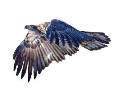 immature: Immature Bald Eagle in flight in isolation Stock Photo