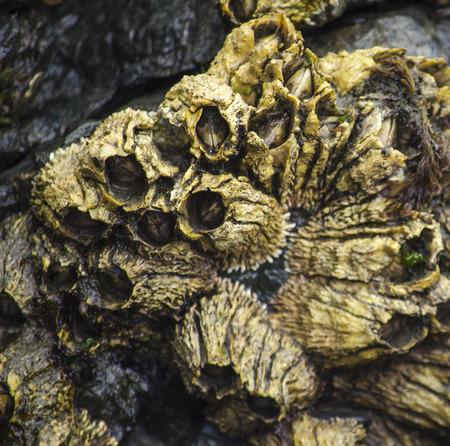 barnacles: Balani d'oro sono rientrati nel loro guscio in attesa per il ritorno della marea