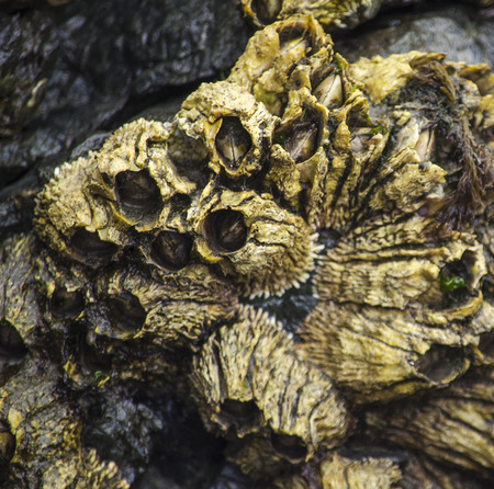barnacles: Golden Barnacles are retracted into their shells waiting for the return of the tide Stock Photo