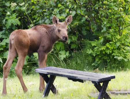 maybe: Maybe I should take the moose calf smoores as it is standing at the fire pit. Stock Photo
