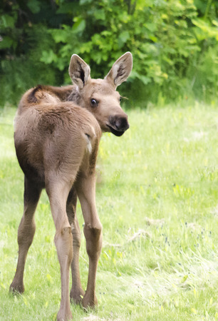 breen: A moose calf looks over it shoulder and is flexible enough to almost bend in half
