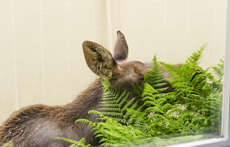 nibbling: Moose calf does window grocery shopping by nibbling on bright fresh green ferns