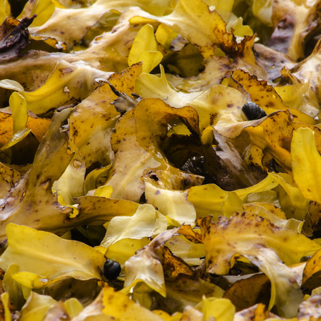 Black snails are crawling about yellow seaweed