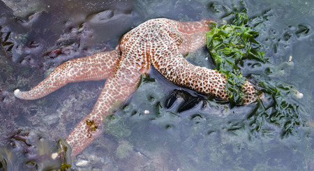 An orange sea star is partially exposed by the outgoing tide. 版權商用圖片