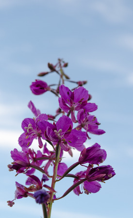 fireweed: A pink fireweed stretches up to the sky