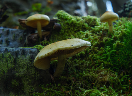 Pale yellow mushrooms are set against low green moss. Stock Photo