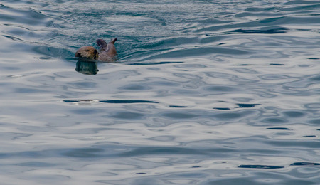 otter: An otter is looking over its shoulder while swimming forward