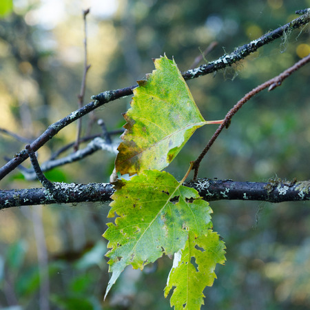 Trio of green leaves fight to stay green in the autumn Imagens
