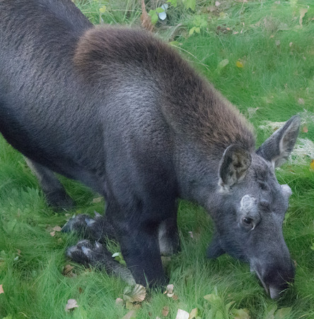 A moose knees to eat green grass