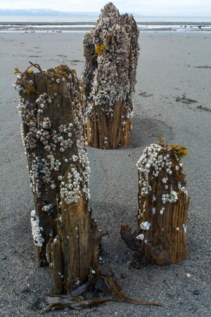 barnacles: Barnacles cover deserted pilings and are gradually returning them to the earth.