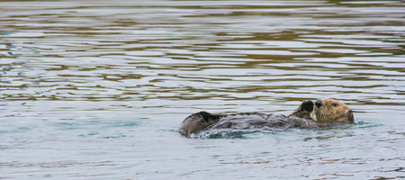 otter: An otter waves a paw while floating in calm sea.