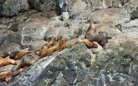 sunning: A group of sea lions are stretched on a rocky outcrop sunning themselves Stock Photo