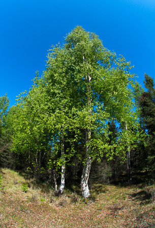 fisheye: A spring green cotton wood stand is viewed through a fisheye lens against cloudless sky. Stock Photo