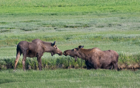 touching noses: A moose cow and young son touch noses while standing in an Alaskan marsh. Stock Photo