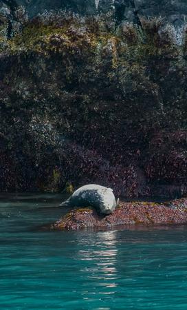 suns: A harbor seal suns it