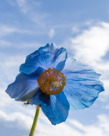 shadowed: Clouds float behind a backlit Himalyan blue poppy. Stock Photo