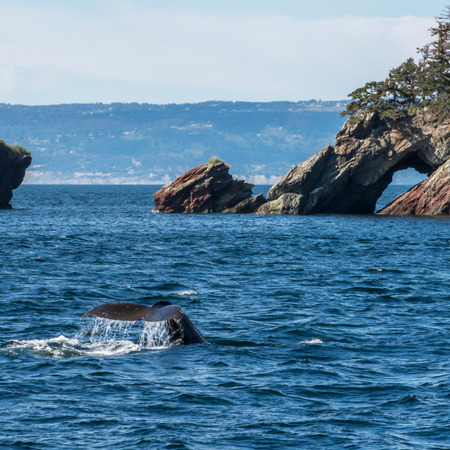 A humpback whale after taking a breath lifts it tail and dives near a rock shore.