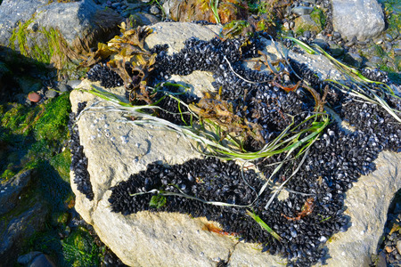 sea grass: Black mussles cling to a drying rock and sea grass awaits the tide to sway in again Stock Photo