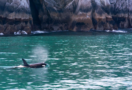 exhale: The plume from an Orcas exhale drifts on the wind as the animal swims away