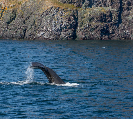 The tail lifts as a humpback drives below the water Stock Photo