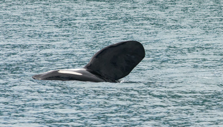 An Orca rolled on its side and thrust its fin up in the air. Banco de Imagens