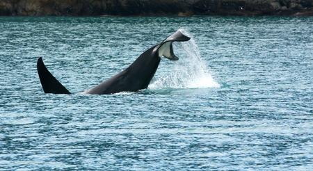 flukes: An orca tails raises into the air as it starts diving under the water. Stock Photo